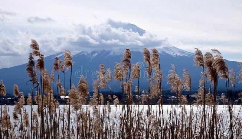 Złota trawa, góra Fuji i jeziorny brzeg, obraz royalty free