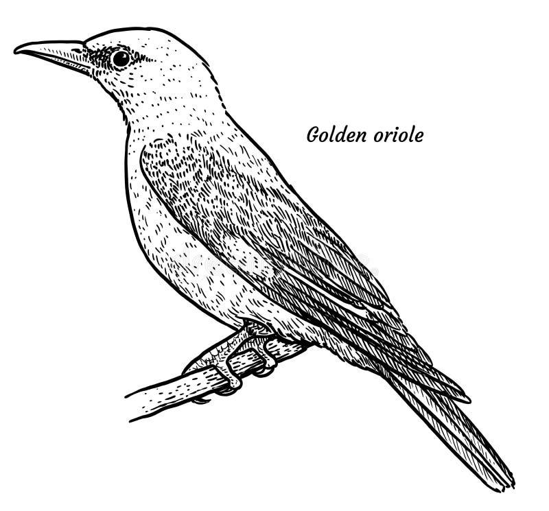 Złota wilga, Oriolus oriolus ilustracja, rysunek, rytownictwo, atrament, kreskowa sztuka, wektor ilustracja wektor