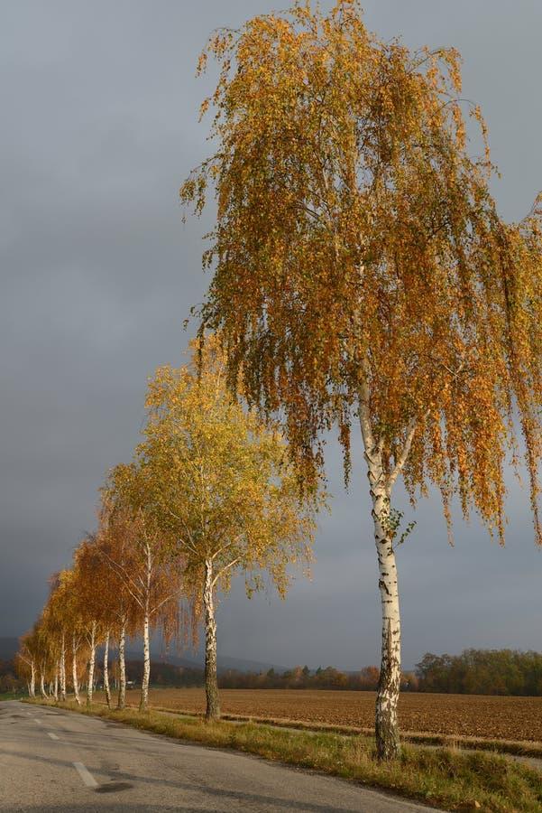Złote brzozy w spadku drogą z chmurzącym niebem obraz royalty free