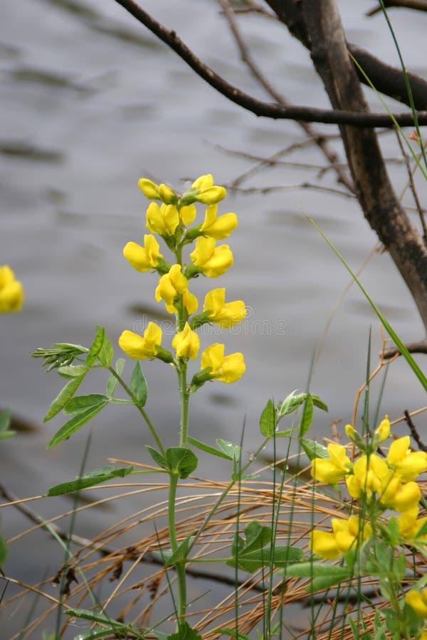 złote góry groch zdjęcia stock
