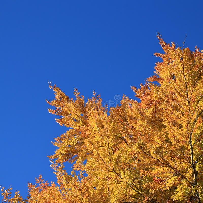 Złote gałąź bukowy drzewo w jesieni i niebieskim niebie zdjęcie stock