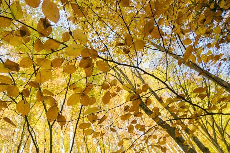 złote liście zdjęcia stock