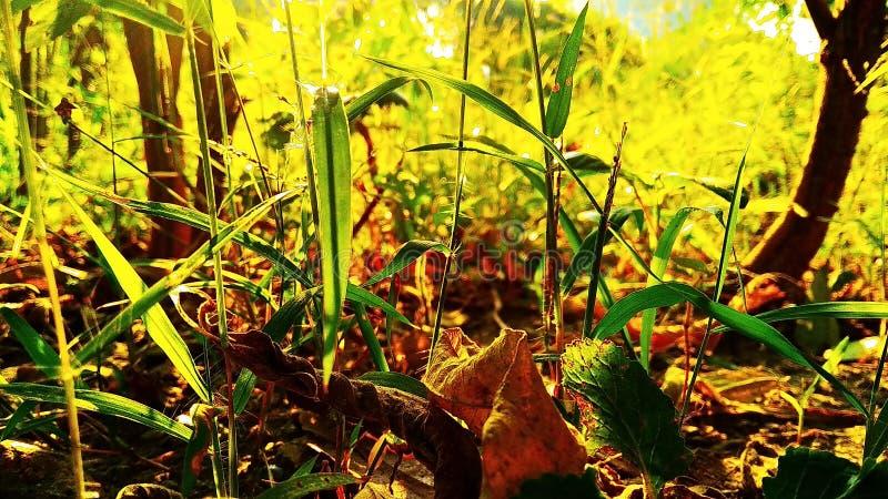 Złote trawy zdjęcie stock