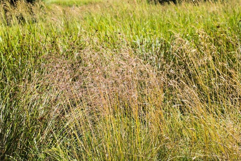 Złote trawy Plakatowe zdjęcie royalty free