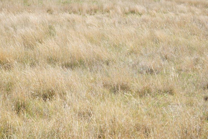 Złote trawy preria zdjęcia royalty free