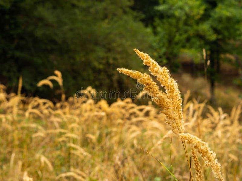 Złote trawy w ciepłym jesieni świetle obraz stock