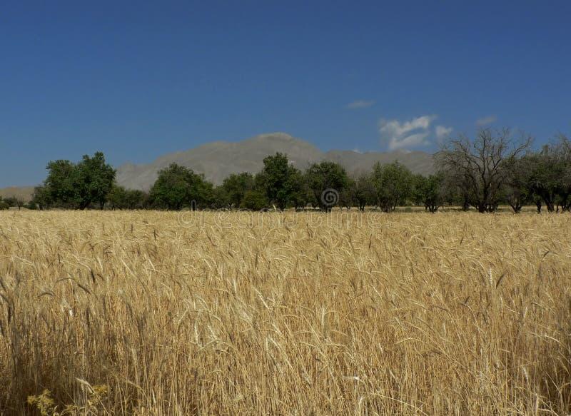 złote wheaties fotografia royalty free