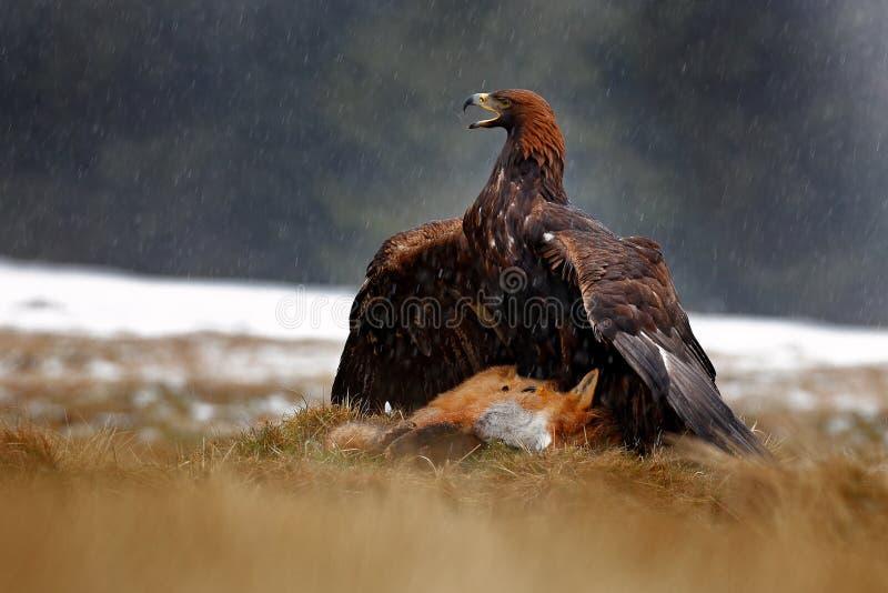 Złotego Eagle karmienie na zabijać Czerwonym Fox w lesie podczas deszczu i opad śniegu Ptasi zachowanie w naturze Żywieniowa scen obrazy royalty free