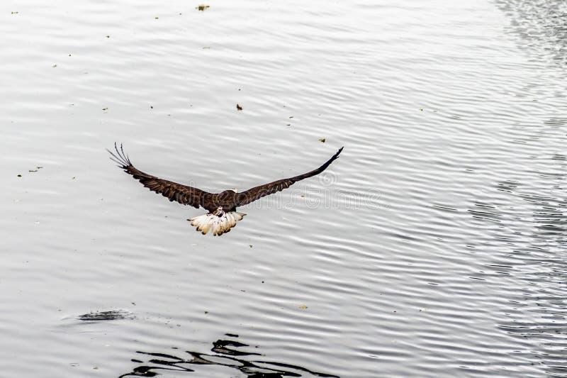 Złotego Eagle plecy z skrzydłami szeroko otwarty zdjęcia royalty free