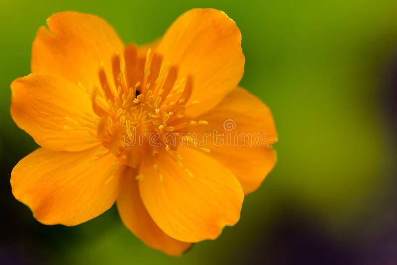 Złotego królowej Trollius kwiatu chinensis wibrująca pomarańczowa głowa dalej obrazy stock