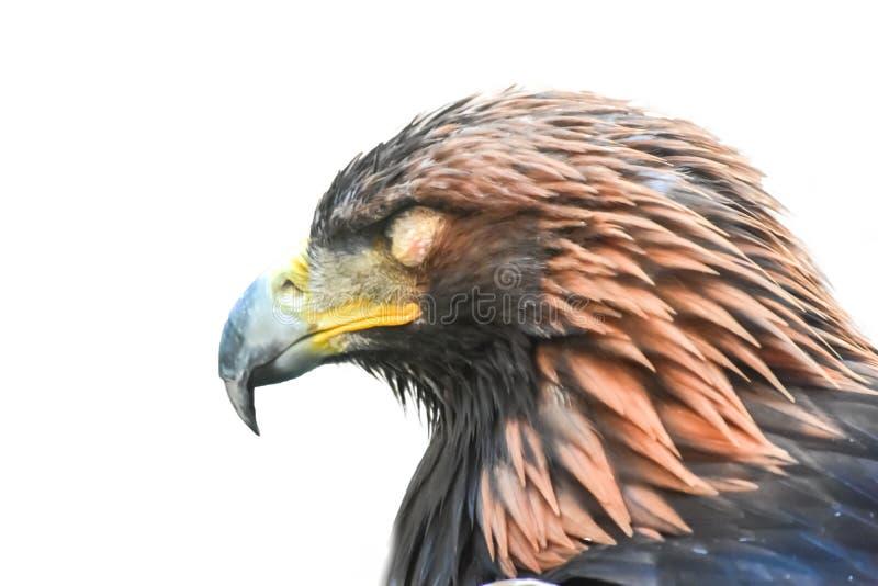 Złotego orła sen pojedynczy białe tło zdjęcia stock
