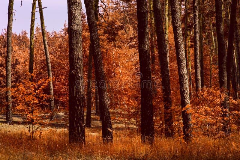 Złotej jesieni lasowa jaskrawa pomarańcze zasadza magicznej przyrody fotografia stock