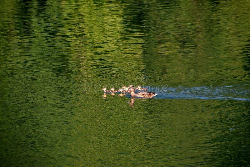 Złotka rodzinny dopłynięcie, dziewięć kaczątek z macierzystą kaczką na wodzie fotografia stock