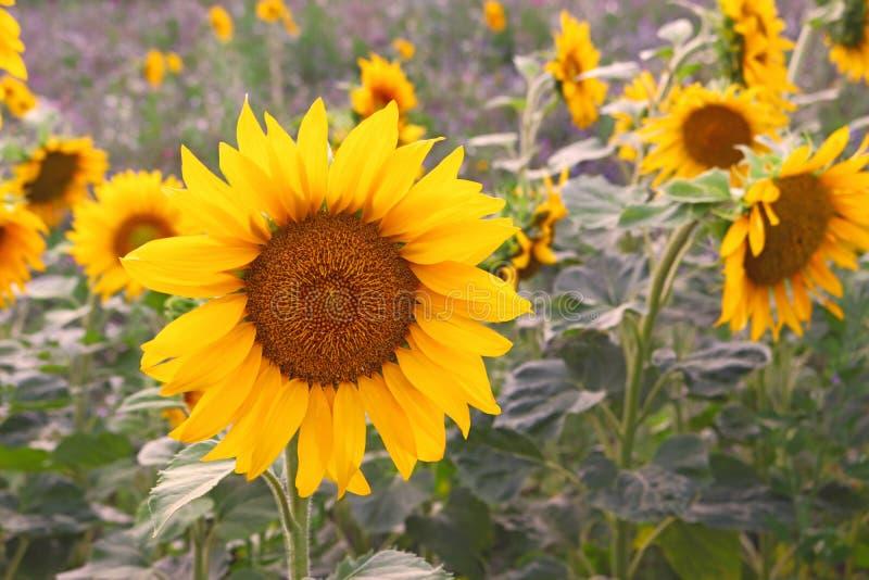 Złoto barwiony słonecznik na polu zdjęcie stock