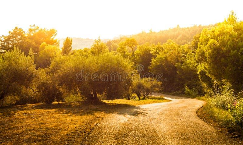 Złoto krajobraz z wijącą drogą, wzgórzami i drzewami oliwnymi, obrazy stock