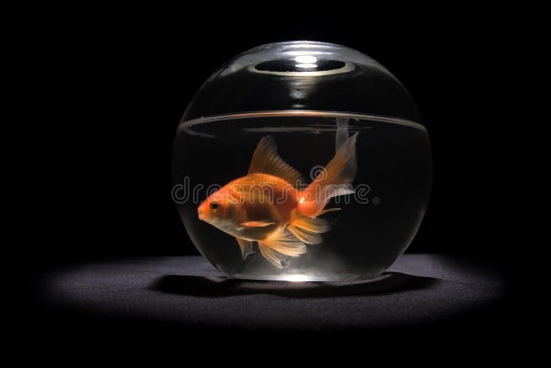 złoto ryb fotografia royalty free