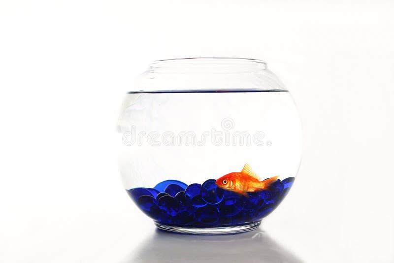 złoto ryb zdjęcie stock