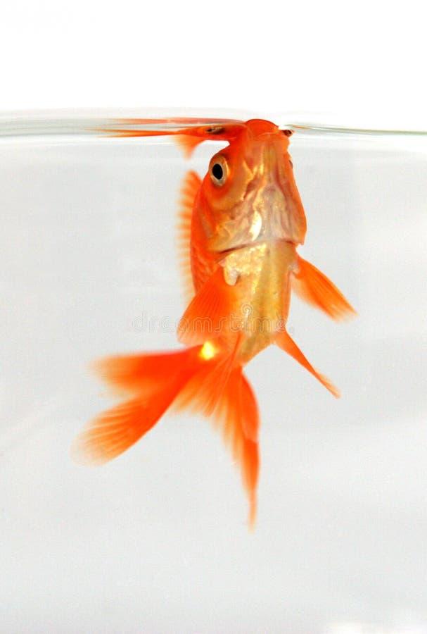 złoto ryb zdjęcia royalty free