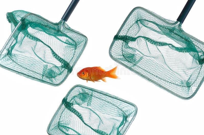 złoto ryb sieci zdjęcia stock