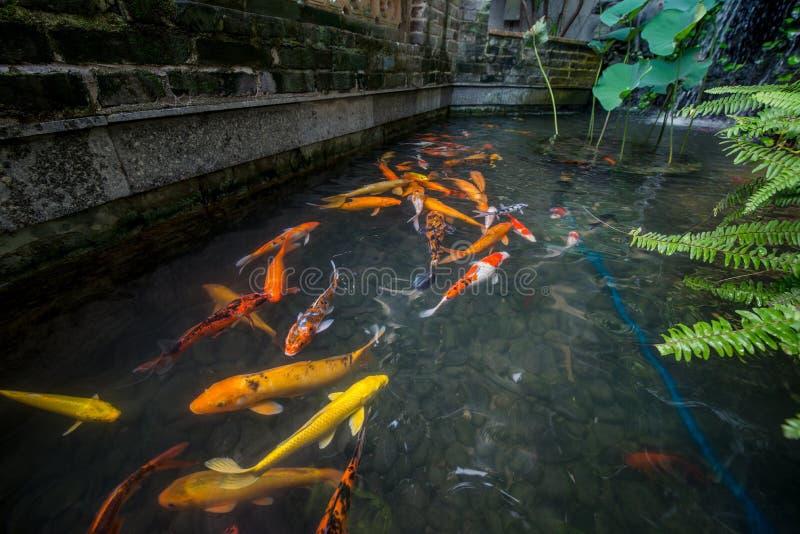 Złoto ryba obraz royalty free