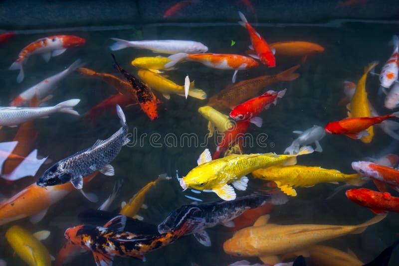 Złoto ryba fotografia royalty free