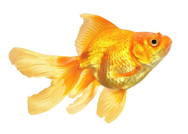 Złoto ryba odizolowywająca obraz stock