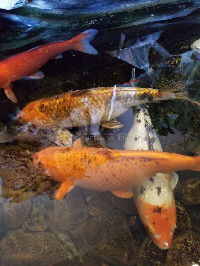 Złoto ryba w wietnamczyka retaurant& x27; s staw obrazy stock