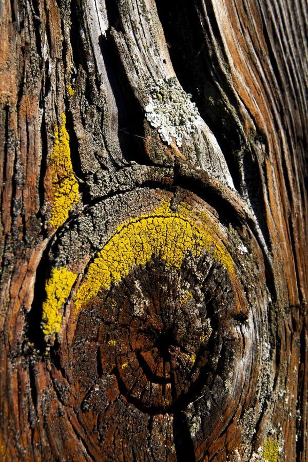 Złotorosta parietina Foliose liszaj zdjęcie stock