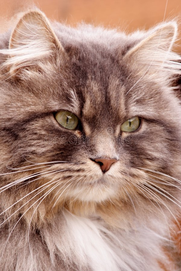 złotowłosy długi pr?? kowa? zdjęcie royalty free