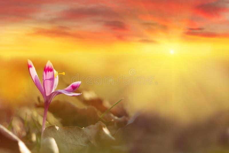 Złoty światło słoneczne na piękny wiosna kwiatu krokusa rosnąć dziki Dramatyczny wschód słońca z wildgrowing wiosna kwiatu krokus obrazy royalty free