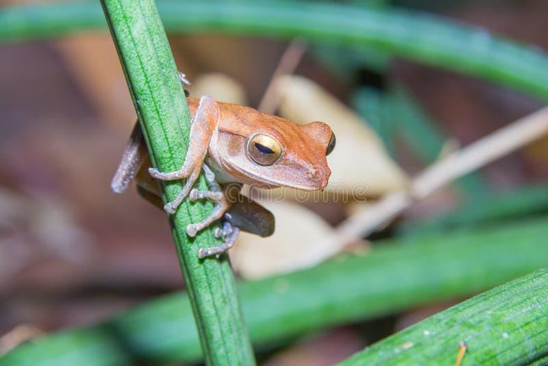 złoty żaby drzewo obrazy stock