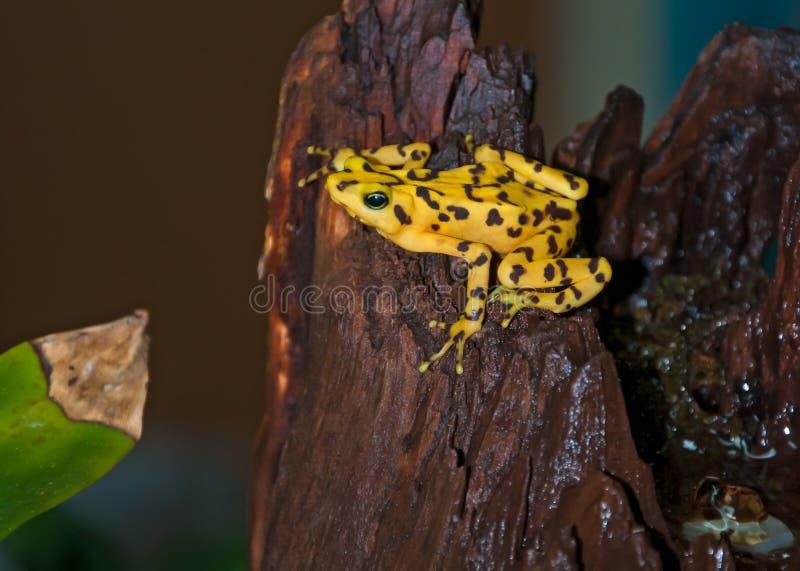 złoty żaby panamanian obraz royalty free