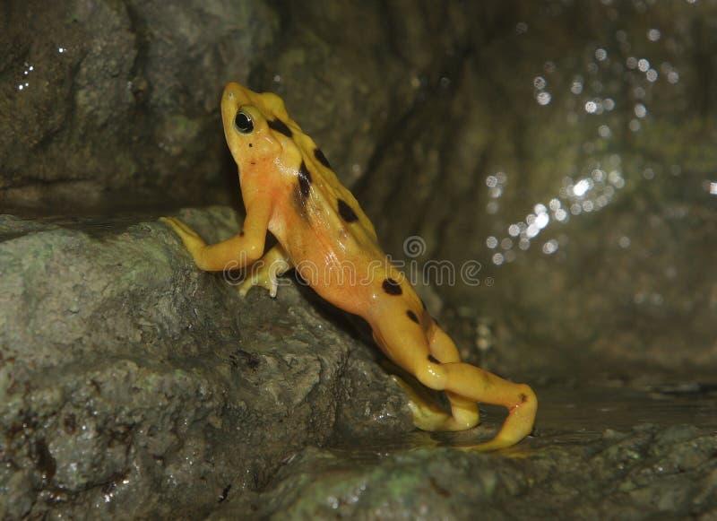 złoty żaby panamanian obrazy stock