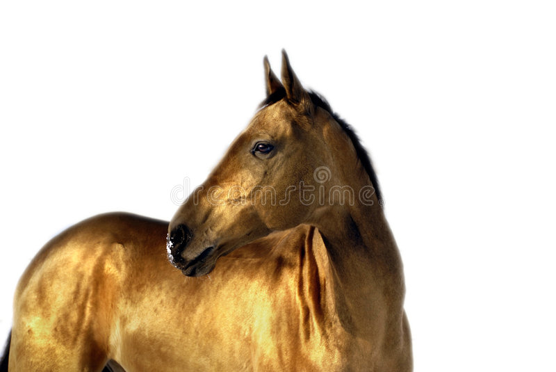 złoty akhal koń teke zdjęcia royalty free