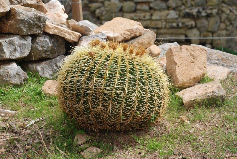 Złoty Balowy kaktus, Majorca zdjęcia stock