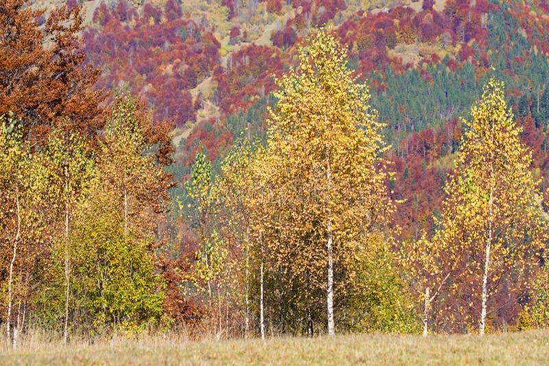 Złoty brzozy drzewo z jesieni tłem fotografia stock