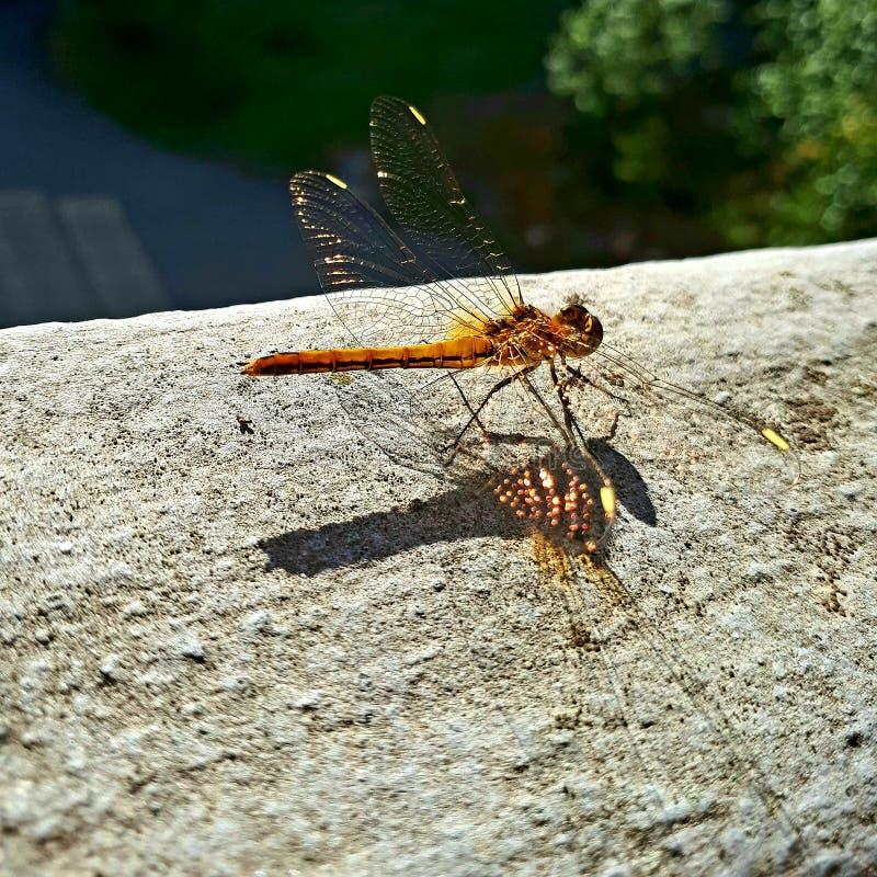 Złoty dragonfly obraz royalty free