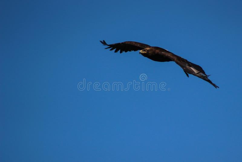 Złoty Eagle, Illinois -, sokolnictwo, Vorarlberg, Austria zdjęcia stock