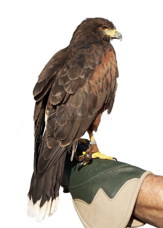 Złoty Eagle Odizolowywający na rękawiczce obraz stock