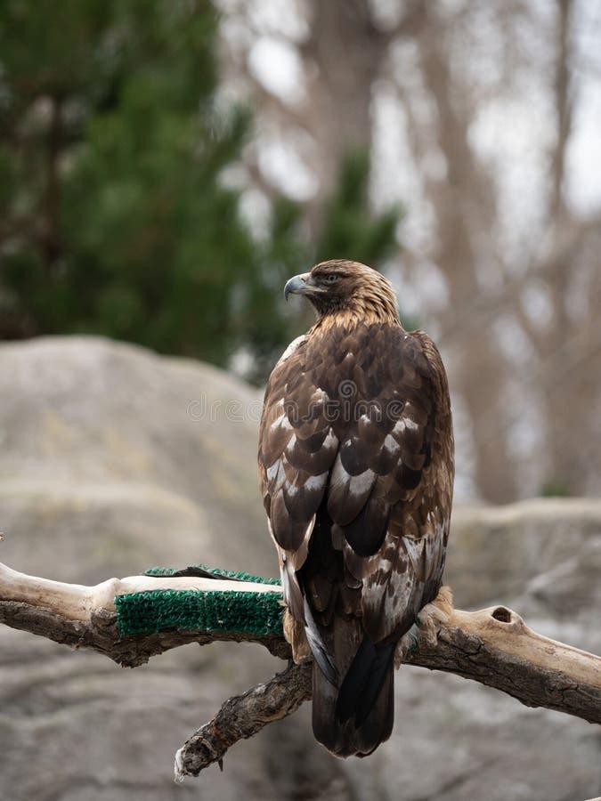 Złoty Eagle Umieszczający na kończynie z Z powrotem kamera fotografia stock