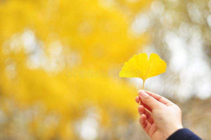 Złoty ginkgo liść na ręce obrazy stock