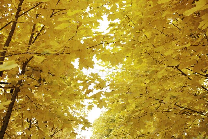 Złoty jesień liść klonowy, niebo i zdjęcia stock