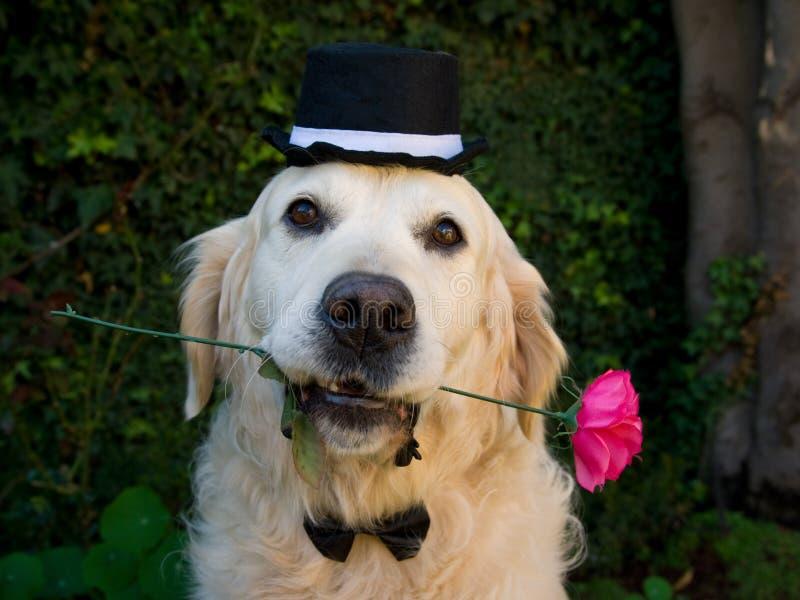 złoty kapeluszowy aporteru róży wierzchołek obrazy royalty free