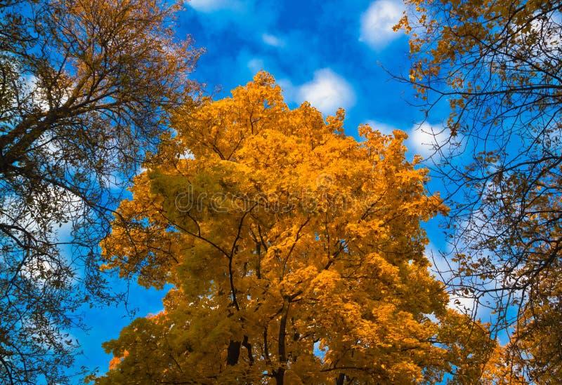 Złoty klonowy drzewo na błękitnym jesieni nieba tle obrazy royalty free