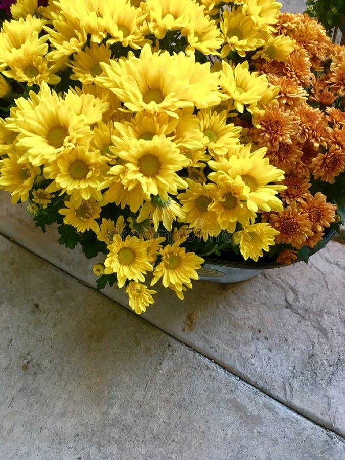 Złoty kolor żółty i Ośniedziali Brown Mums zdjęcia royalty free