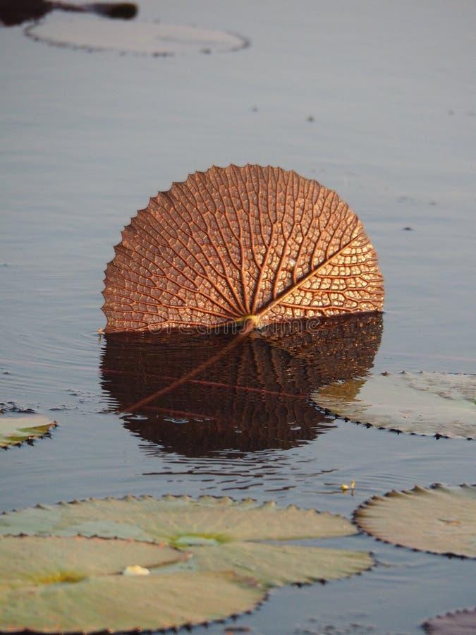 Złoty kolor Lotus Lub Wodnej lelui liść zdjęcie stock
