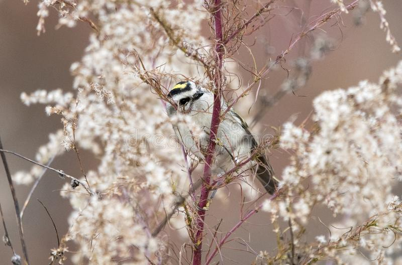 Złoty Koronowany mysikrólika ptak w zimie, Gruzja usa obrazy stock