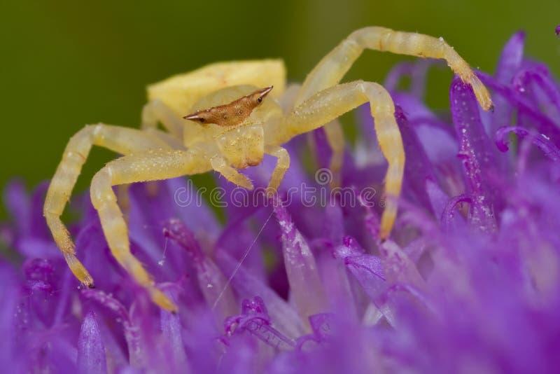 złoty kraba pająk fotografia stock