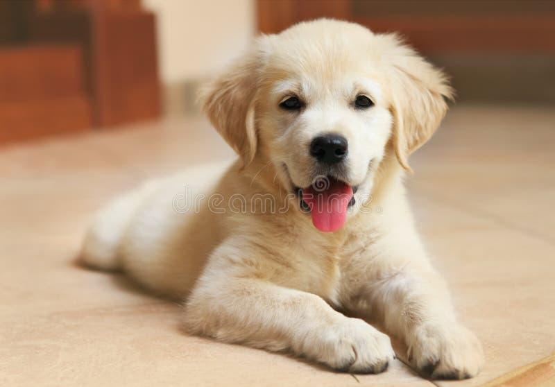 Złoty Labrador retriever szczeniak obraz royalty free