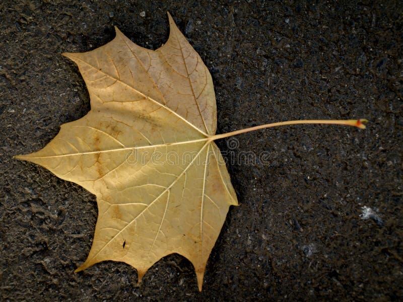 złoty liść obraz stock